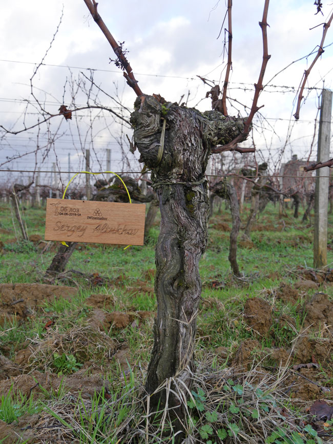 Виноградник на урожай